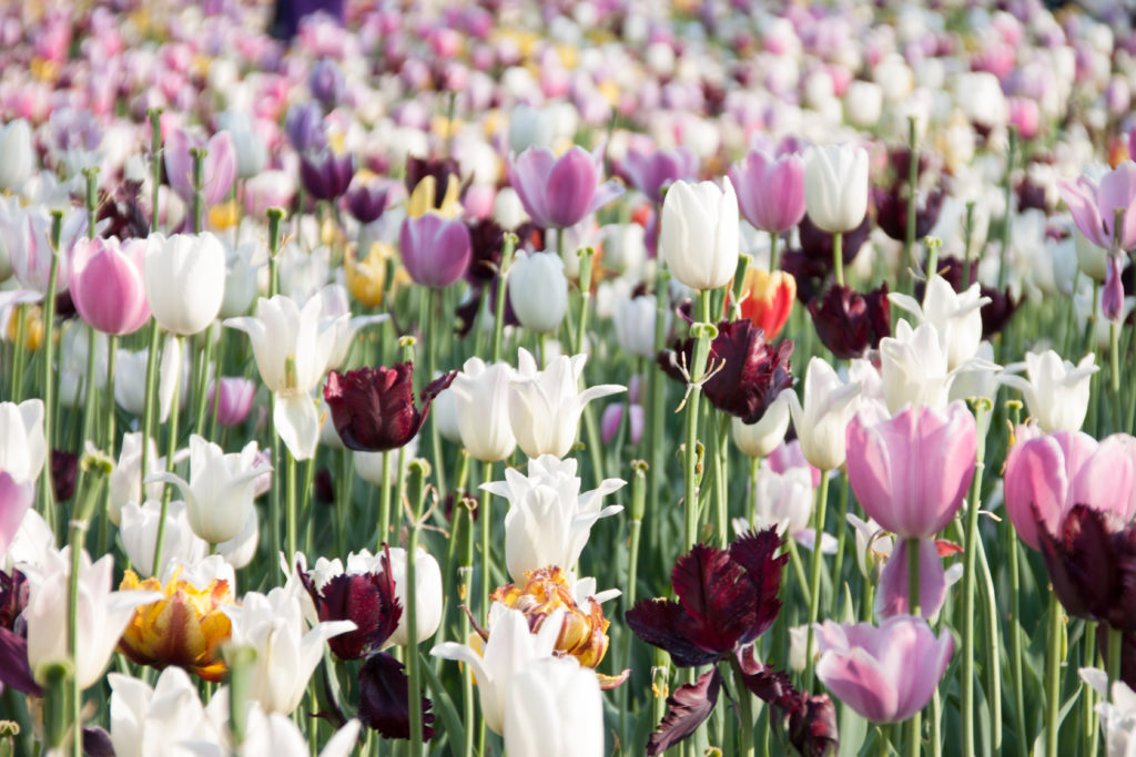 Urban_Photography_MTL_Montreal_Commercial_Photographer_Field_of_Tulips_Botanical_Gardens_Jardin_Botanique